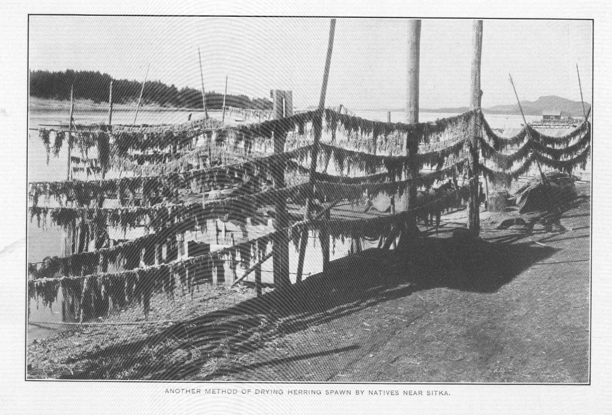 FMIB_49116_Another_method_of_drying_herring_spawn_by_natives_near_Sitka
